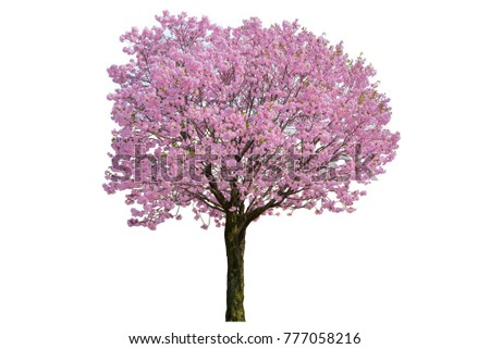 Pink flower, Cherry blossoms tree isolated on white background. #777058216