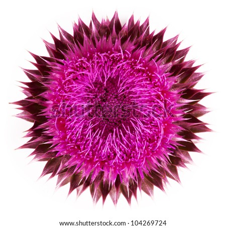 Pink flower close-up isolated on a white background