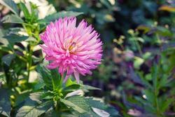 Pink flower Dahlia Cactus in the garden.