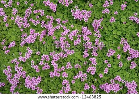 Pink flower field background ez canvas pink flower field background mightylinksfo