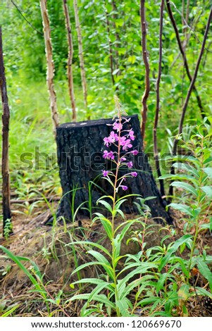 Pink flower fireweed, young tree trunks against the charred stump and green grass
