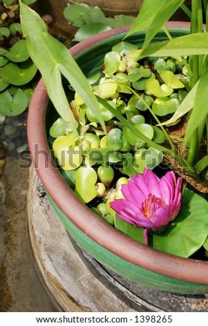 Pink flower in a water lilly garden