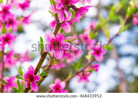pink flower in blue background. pink flowering tree branch. Closeup on blossoms  flowering tree in spring  #468433952