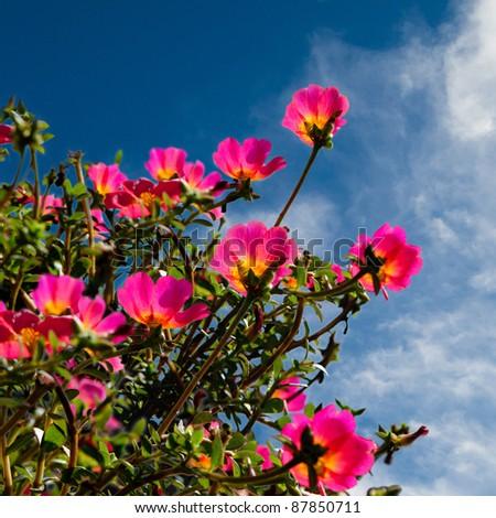 Pink flower in blue sky background stock photo 87850711 shutterstock