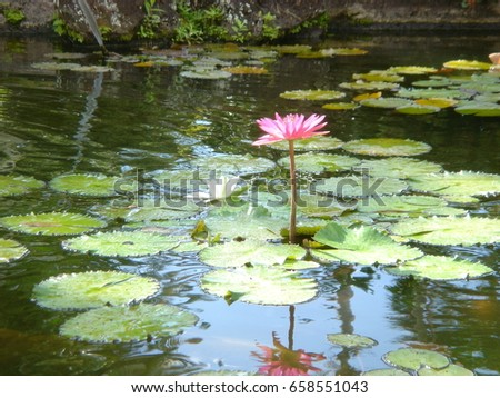 pink flower in hawaii with...