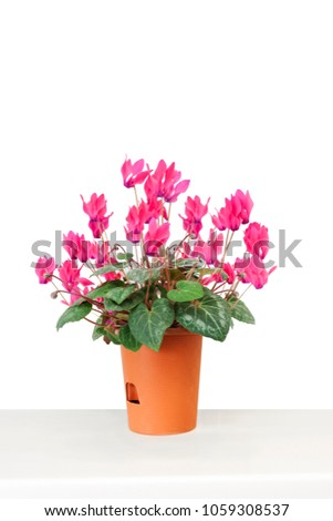 pink flower in pot on table #1059308537