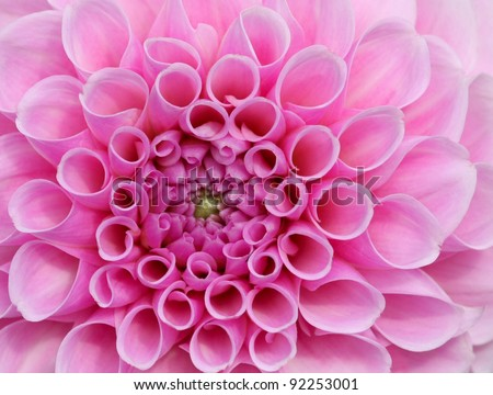 Pink flower in very high detail. Stunningly beautiful and symbolises love, weddings and female decoration. - stock photo