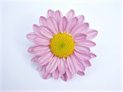 Pink flower isolated Marguerite daisy ,Argyranthemum frutescens on white background ,macro image