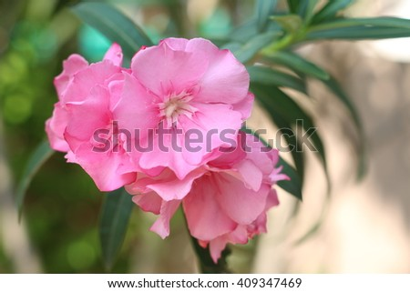 Pink Flower Name Oleander The Scientific Name Is Nerium Oleander L