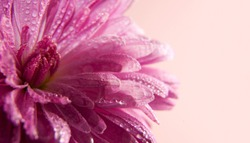 Pink flower of aster with drops of dew on a light pink background. Place for text. Beautiful artistic macro photo.