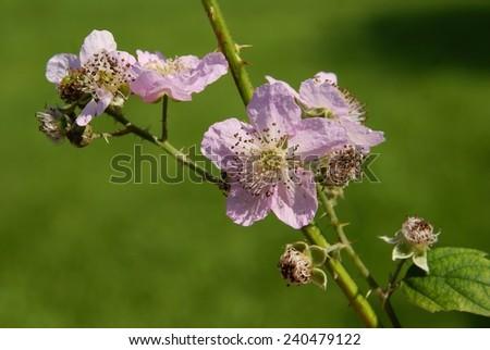 pink flower of blackberry bush