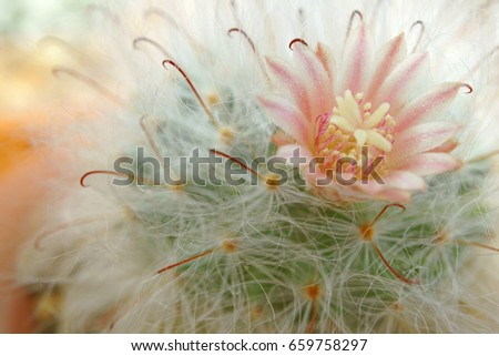 Pink flower of cactus (Mammillaria bocasana) surrounded by hair-like spines.