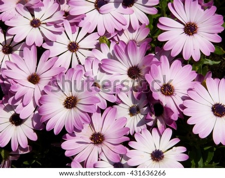 pink flower of cape daisy plant Stock photo ©