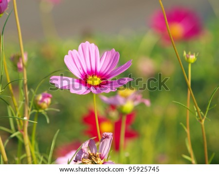 Pink flower of cosmos
