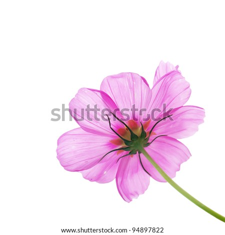 Pink flower of cosmos isolated on white background #94897822