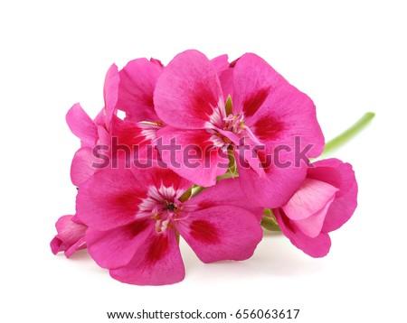 Pink flower of Geranium, Pelargonium, Geraniaceae on white background - Shutterstock ID 656063617
