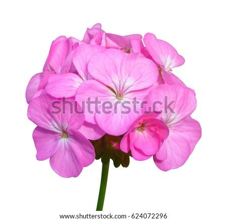Pink flower of Geranium, Pelargonium x hortorum L.H.Bail (Geraniaceae) isolated on white background - Shutterstock ID 624072296
