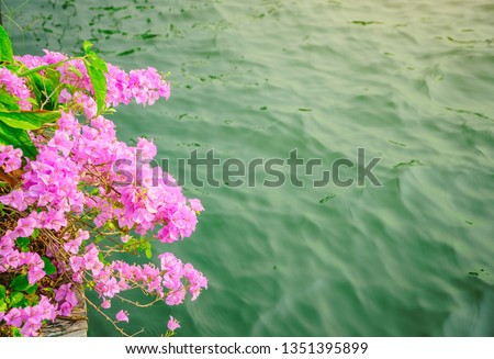 Pink flower of the Bougainville tree blooming near the river, Pink flowers of Bougainville tree and lake background, Pink flowers are blooming beside the pool.