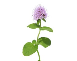 Pink flower of Water mint isolated on white background. Mentha aquatica