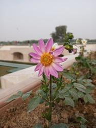 pink flower on rajghat...