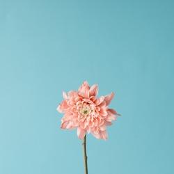Pink flower on sky background. Minimal concept.