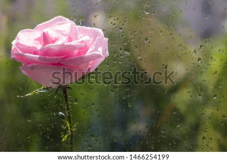 Pink flower on wet glass background. Rosebud with water drops. Space for text. Copy space #1466254199