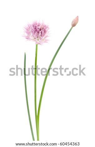 Pink flower on white