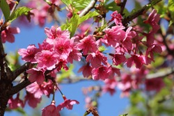Pink flower or wild Himalayan cherry and sour cherry . The tree flowers in autumn and winter. Flowers are hermaphroditic and are pinkish white in color. It has ovoid yellow fruit that turns red as it