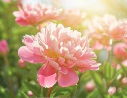 Pink flower peonies bloom in summer garden on blurry pink peonies flower background. Nature.