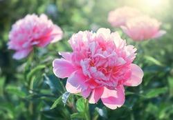 Pink flower peonies flowering on background pink flowers.