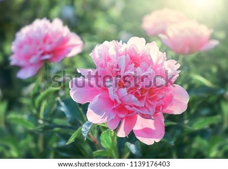 Pink flower peonies flowering on background pink flowers.                     #1139176403