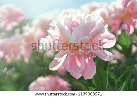 Pink flower Peony blooming on background peonies flowers.           #1139008571