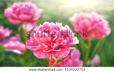 Pink flower peony flowering in peonies garden.
