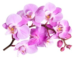 pink flower phalaenopsis orchid isolated on white background.