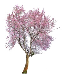 Pink flower sour cherry tree isolated on white background. This has clipping path.