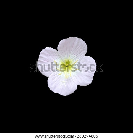 Pink flower with four petals closeup isolated on black ez canvas pink flower with four petals closeup isolated on black mightylinksfo