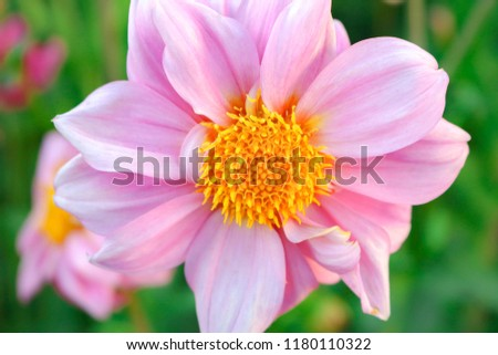 Free photos flower with yellow center and pink leaves avopix pink flower yellow center 1180110322 mightylinksfo