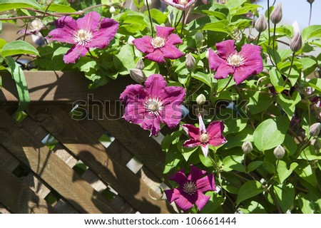 pink flowering climbing clematis on a wooden wall