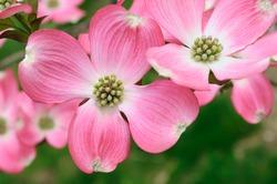 Pink Flowering Dogwood flower close-up