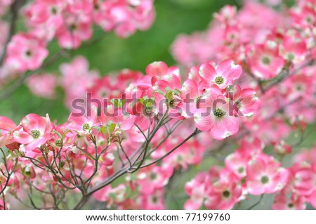 Pink flowering dogwood flower clusters