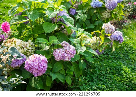 PInk flowering Hydrangea bush with many flowers