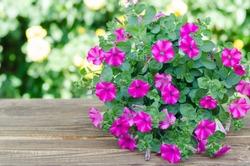 Pink flowering petunia in pot on wood table