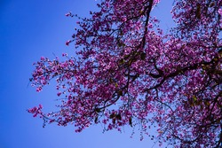 Pink flowering tree against brightly blue sky. The Physocalymma scaberrimum also known as Braziliam Reseda reminiscent of Japanese cherry trees.