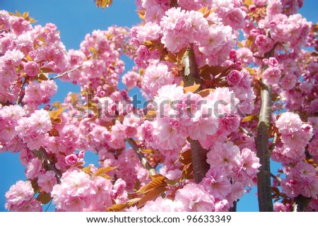 Pink flowering tree in springtime.