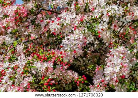 Free Photos Apple Tree In The Early Spring Season Avopix