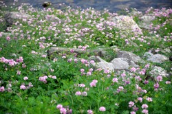 Pink flowers and rocks in a meadow with a creek in the background on the Chesapeake and Ohio Canal in Allegany County, Maryland.