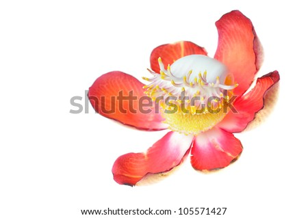 Pink flowers,Beautiful,exotic and fragrant Cannonball flower isolated on white