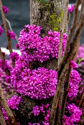Pink flowers blooming on a tree with green moss on a rainy, cloudy, Spring day.