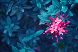 pink flowers blossom on blue leaf, nature background, spiky flowers shape, toned process