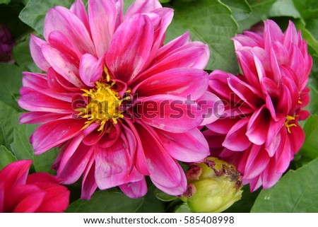 Pink Flowers Chrysanthemum With Yellow Center And Green Leaf Back